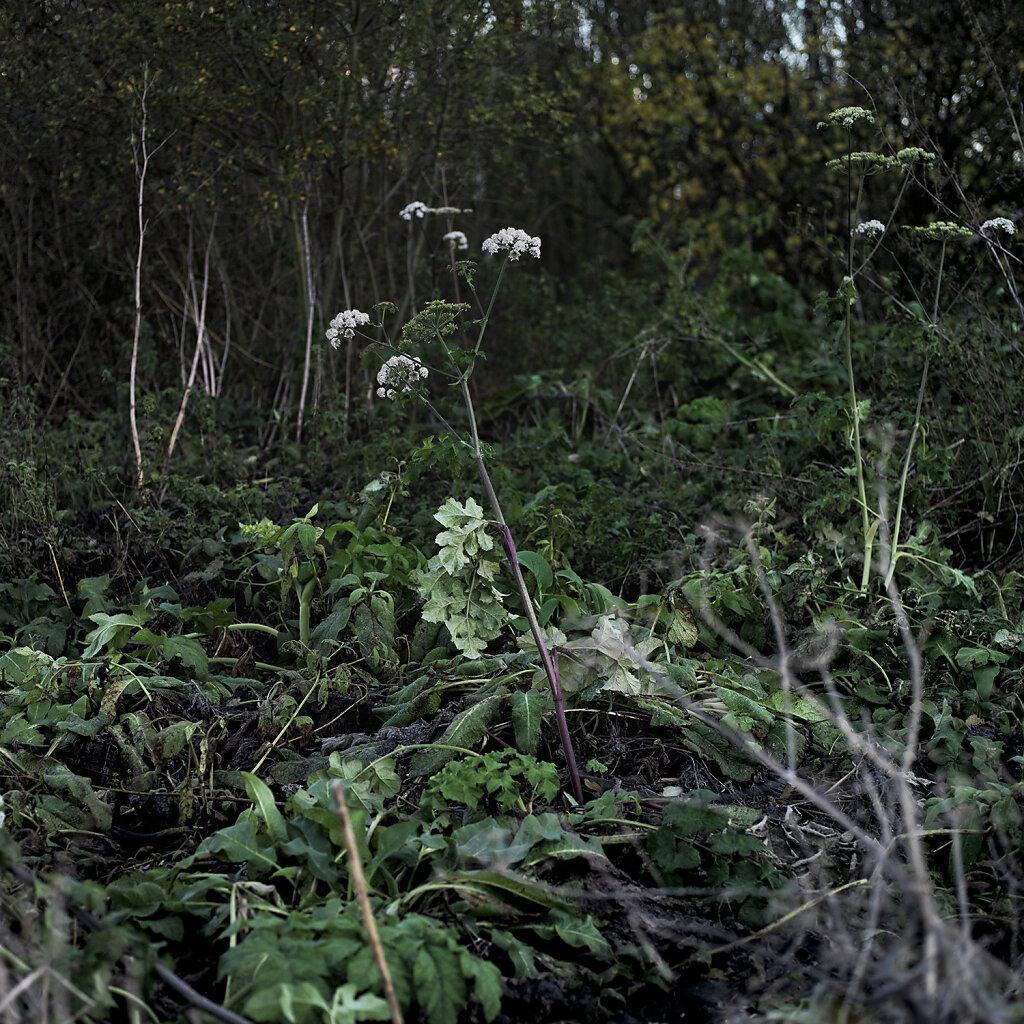 cow-parsley.jpg